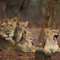 Canine Virus, Parasites Kill 24 Endangered Lions in India
