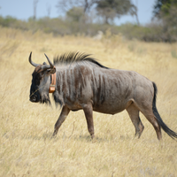 Image of the Day: Wildebeest Fitness Tracker