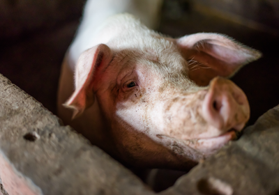 deadly swine disease spreads among pigs in china the scientist