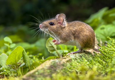 Mouse Microbiomes Are Mostly Inherited
