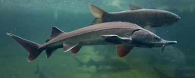 Fishy Behavior: Prof Allegedly Profited from School Caviar Sales
