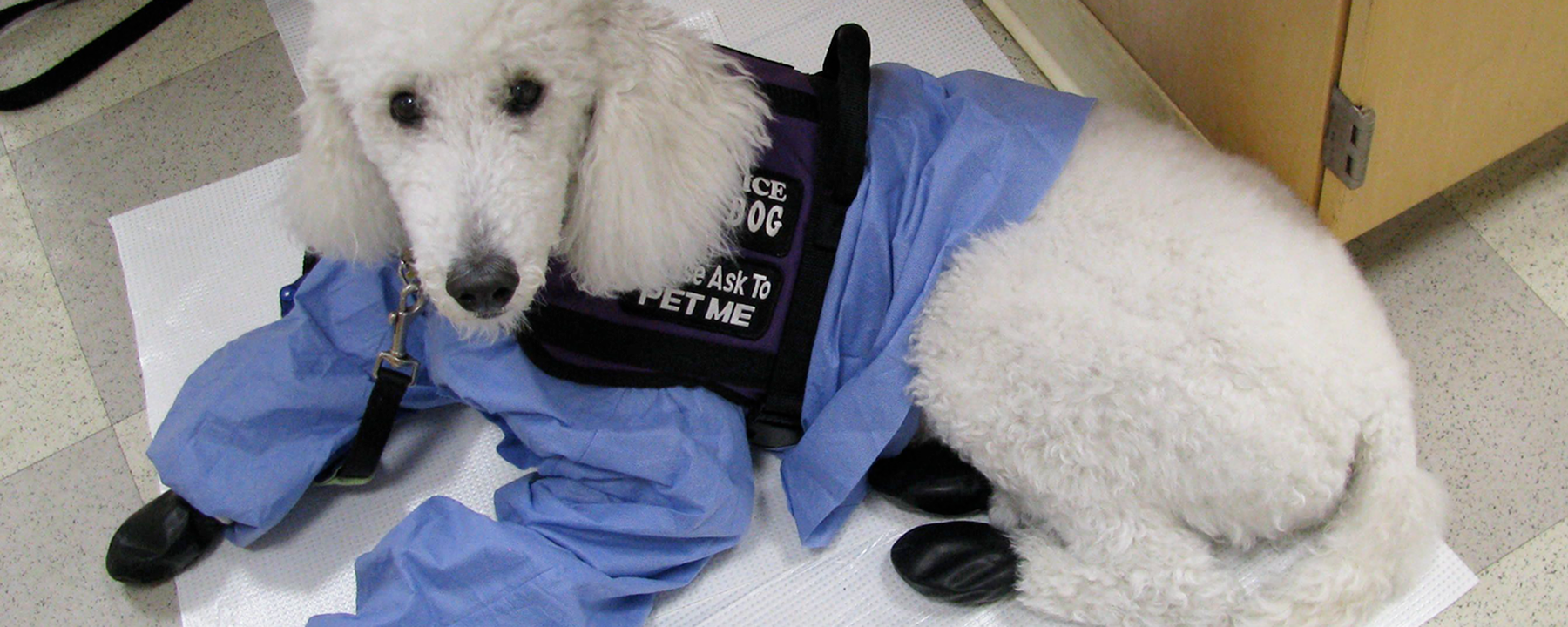 Infographic: Welcoming Service Dogs into the Lab