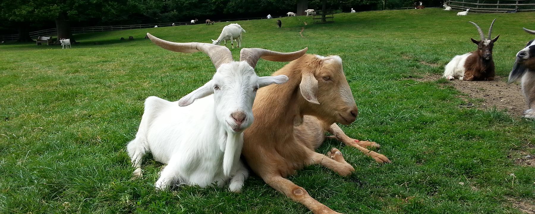 Goats Prefer Happy Human Faces