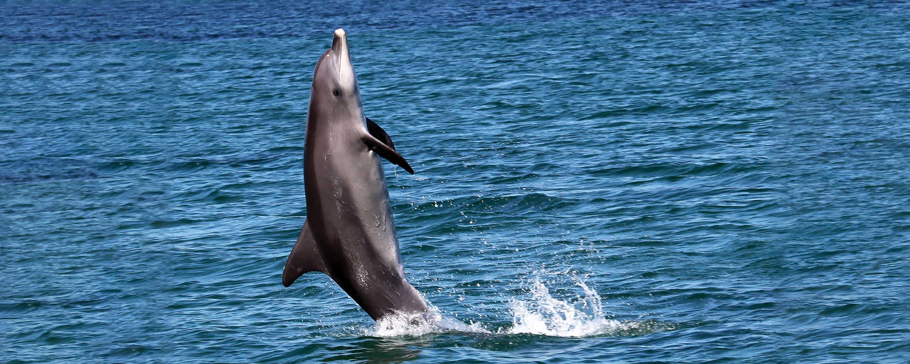 How One Wild Dolphin's Trick Became a Fad