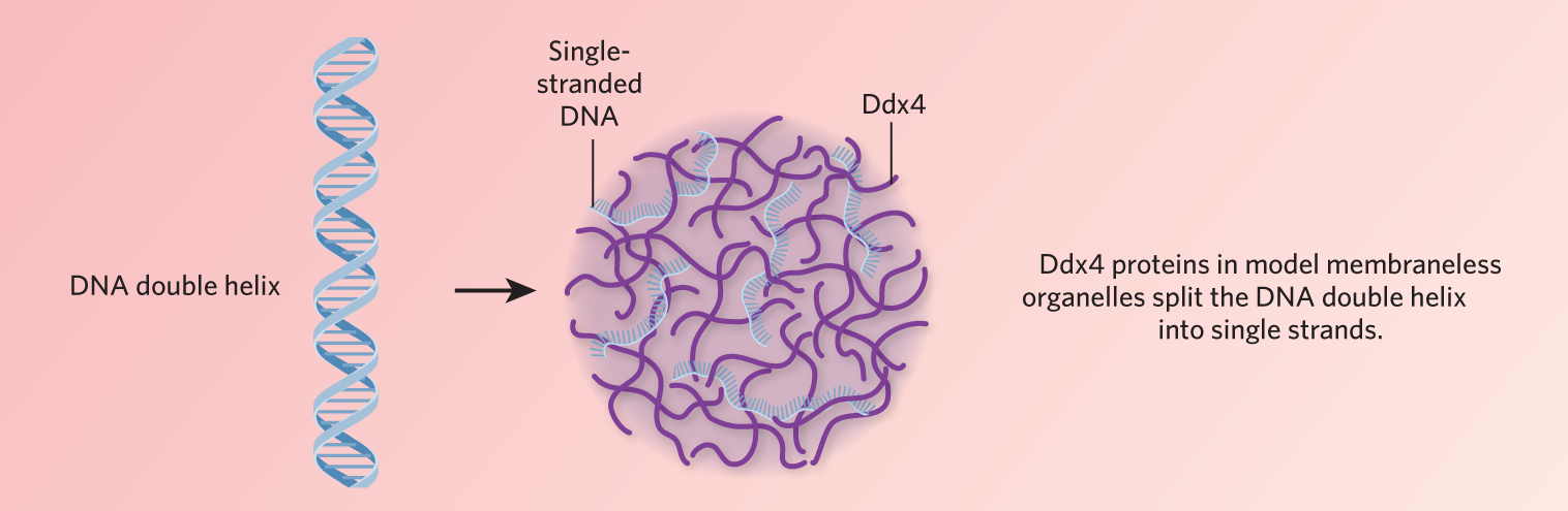 dna is a major constituent of which cell organelle