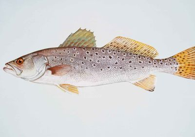 Spotted Seatrout Continued to Spawn During and After Hurricane Harvey