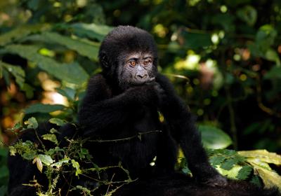 IUCN Red List Update Signals Hope for Gorillas