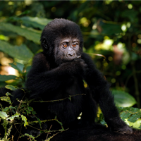 IUCN Red List Update Signals Hope for Gorillas