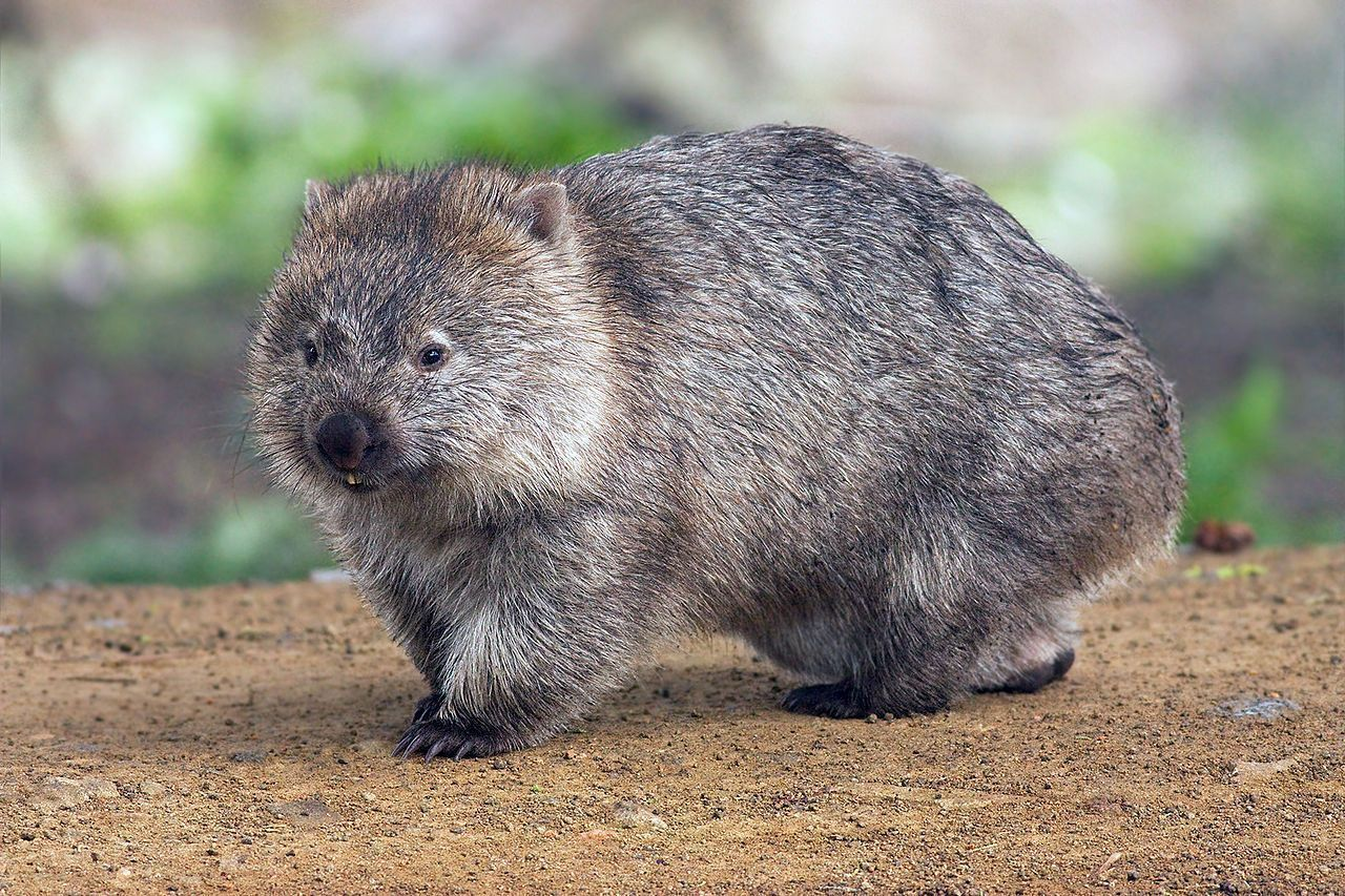 Image of the Day: Wombat Poop | The Scientist Magazine®