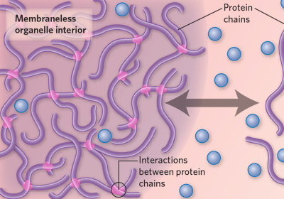 Infographic: What Are Membraneless Organelles?
