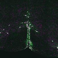 Serotonin Neurons Implicated in SIDS
