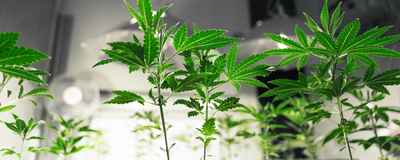 Big Pharma Picks up on Medical Marijuana