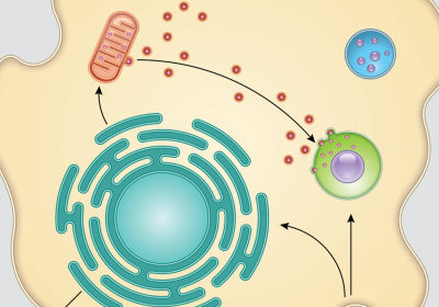 Infographic: How Macrophage Mitochondria Help Destroy Pathogens