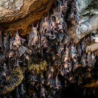 Bats in Sierra Leone Carry Marburg Virus