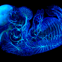Image of the Day: Embryo in Blue