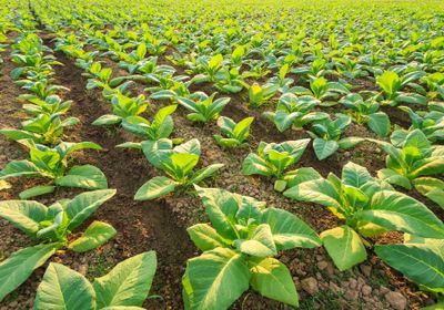 Genetically Engineered Tobacco Does Photosynthesis More Efficiently