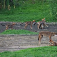 DNA of Red Wolves, Once Gone from the Wild, Discovered in Texas Pack