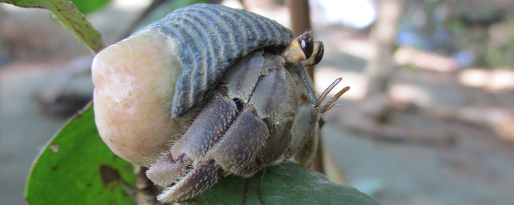 Larger Hermit Crab Penises May Prevent Shell Theft