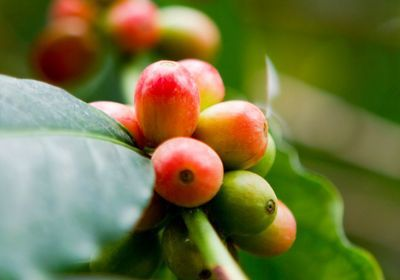 Majority of Wild Coffee Species at Risk of Extinction, Study Finds