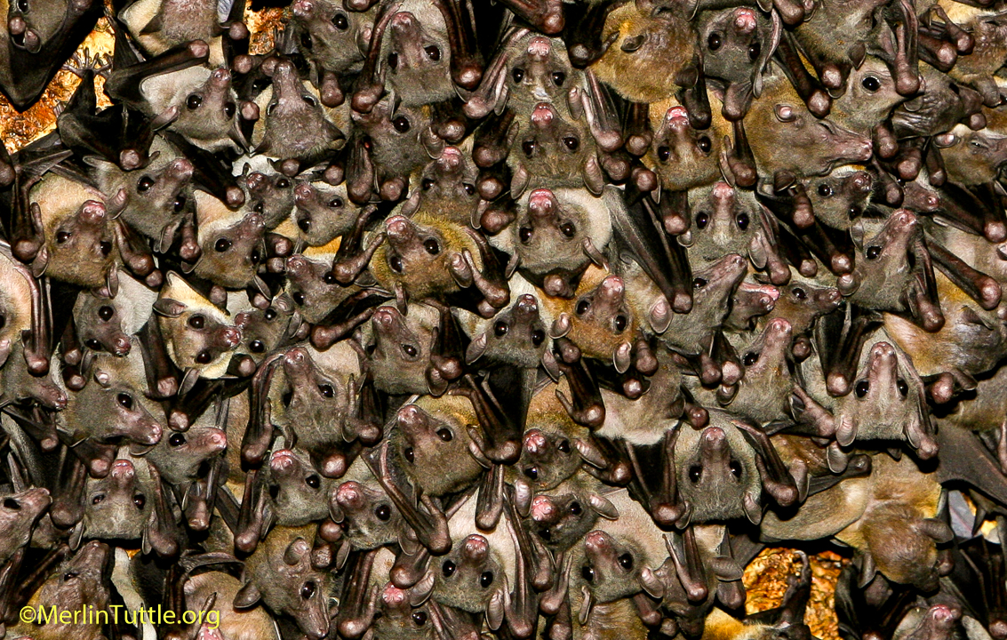 Geoffroy S Rousette Fruit Bats Rousettus Amplexicaudatus Are Essential Pollinators And Seed Disrs They Form Colonies Of Many Thousands In Caves