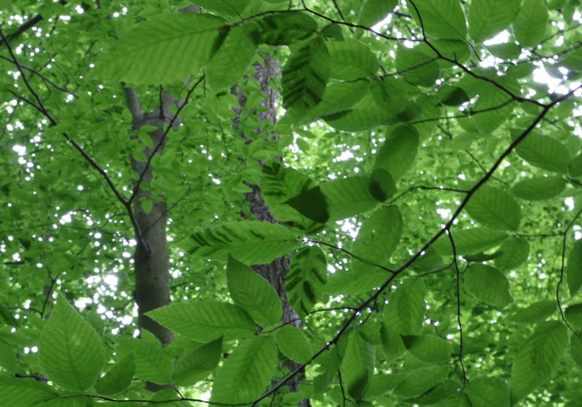 A Mysterious Disease Is Killing Beech Trees The Scientist Magazine