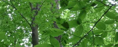 A Mysterious Disease Is Killing Beech Trees