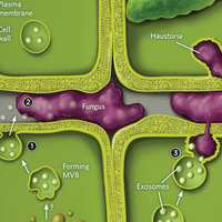Infographic: Plants Deploy Exosomes to Stop Alien Invaders
