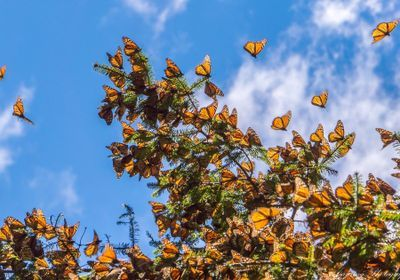 Eastern Monarchs Flourish While Western Numbers Plunge