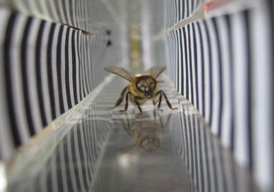 Honeybees Enter Virtual Reality So Scientists Can Study Their Brains