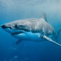 Longevity Clues Tucked in Great White Shark Genome