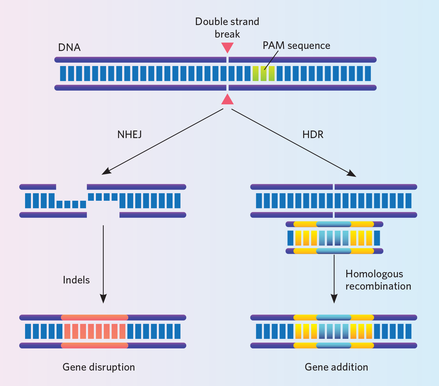 The Challenge of Using CRISPR to Knock In Genes | The
