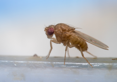 Sleep Deprivation Hardly Harms Fruit Flies