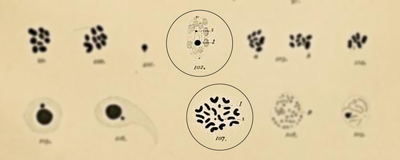 How Chromosomes X and Y Got Their Names, 1891