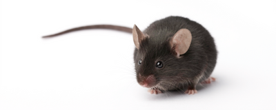 Four Sets of Mice Call Popular Autism Theory into Question