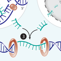 Infographic: How Stray DNA Can Land in Double-Strand Breaks