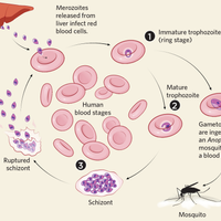 Infographic: Fighting Malaria Drug Resistance