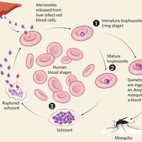 Infographic: Fighting Malaria Drug Resistance