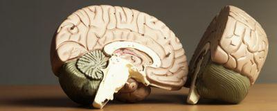 Brain Surface Area Reveals Overlap in Genes, Intelligence, Evolution