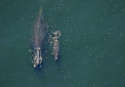 Seven North Atlantic Right Whale Calves Spotted So Far This Year