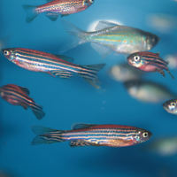 Sleep Is Critical for the Zebrafish Brain to Repair DNA Damage