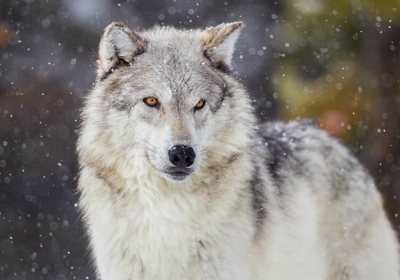 Wolves Could Lose Protected Status in Lower 48 States