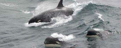 Mysterious Killer Whales Observed off Chilean Coast