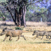Opinion: Why Warthogs Are Useful in Figuring Out How Bovine TB Spreads