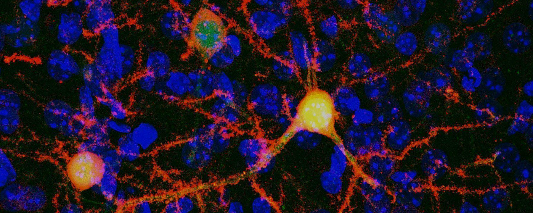 Chemogenetics Method Uses Anti-Smoking Drug to Control Cells