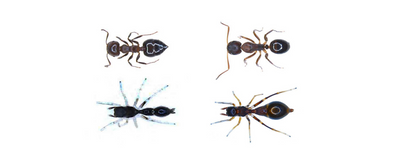 Image of the Day: Ant Imposters