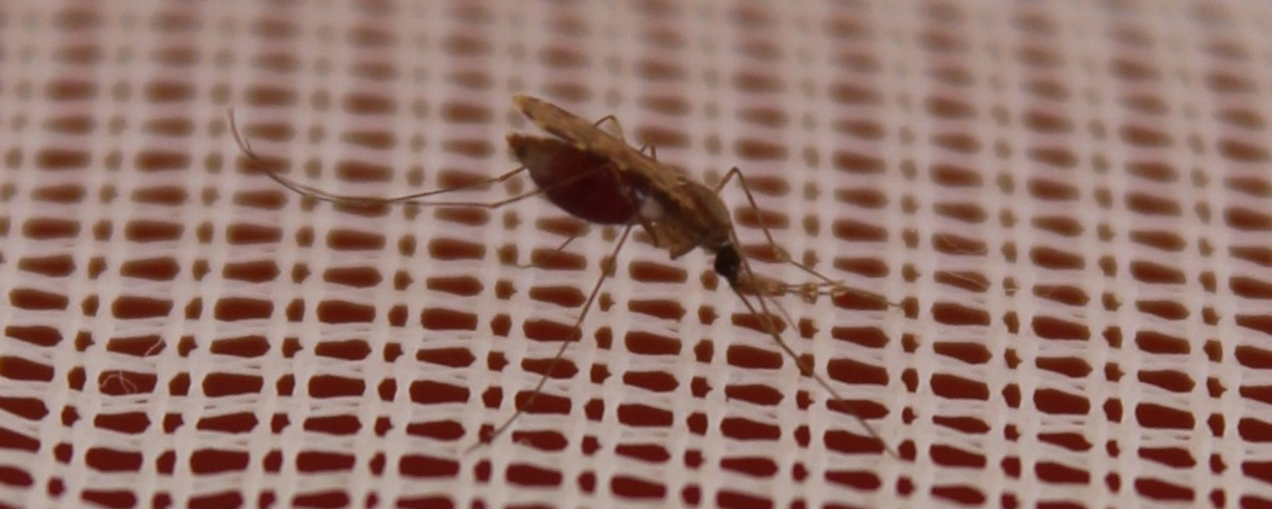 Allele Shows Pyrethroid Resistance's Spread in African Mosquitos