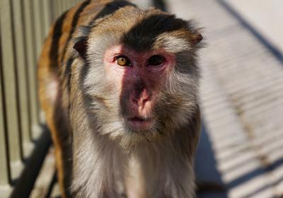 Monkeys Genetically Edited to Mimic Human Brain Development