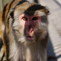 Monkeys Genetically Edited to Mimic Human Brain Development