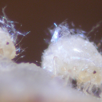 Image of the Day: Aphid Nurses