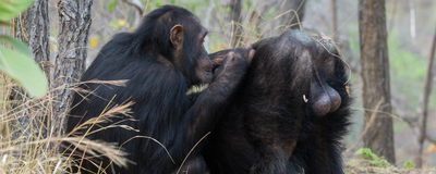 Why Chimpanzees Have Big Testes, and Mandrills Have Small Ones